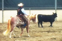2-year old colt driving a cow